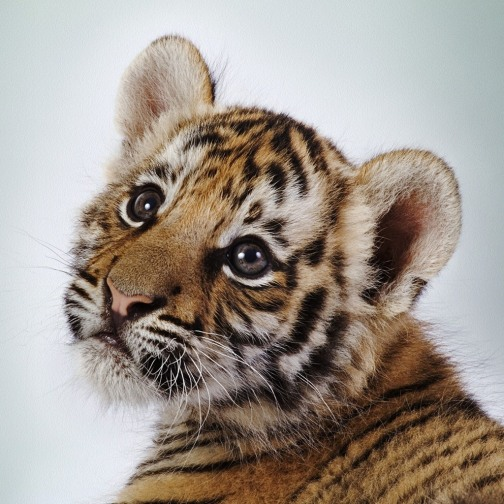 19-baby-tiger